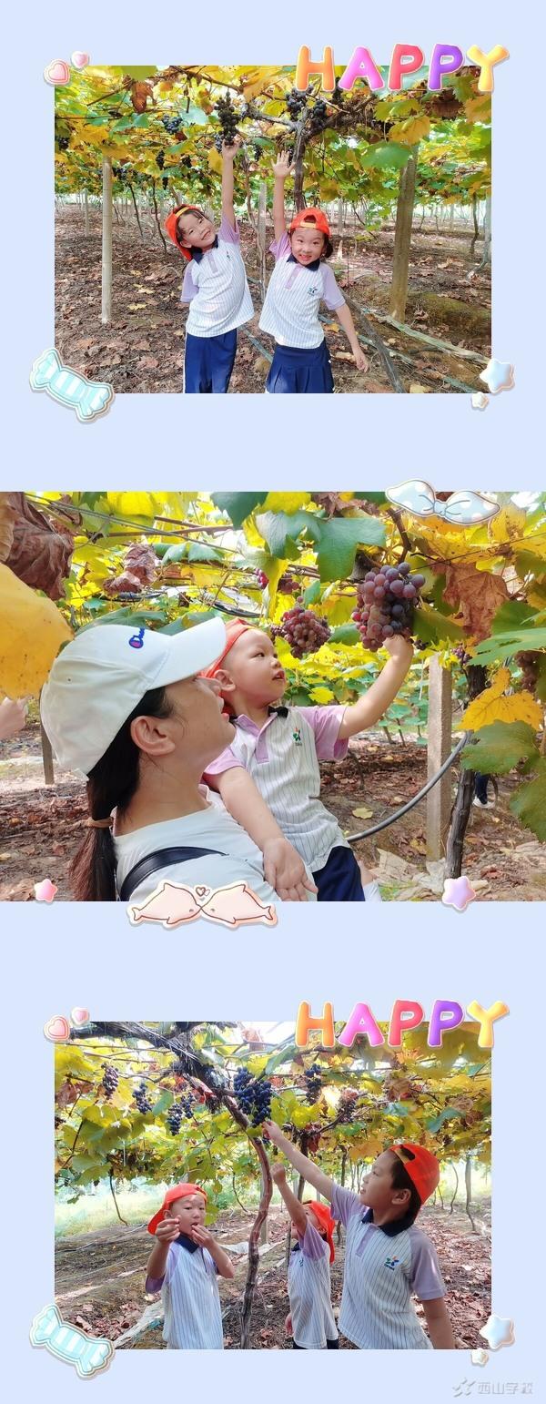 走进葡萄园,感受丰收喜悦——西山幼儿园夏令营快乐采摘之旅